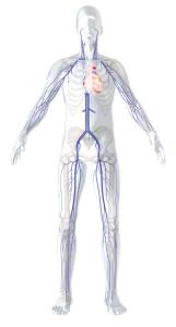 Venen-System im Körper - Komplexes Kanalsystem - Bild von der Firma ClosureFast